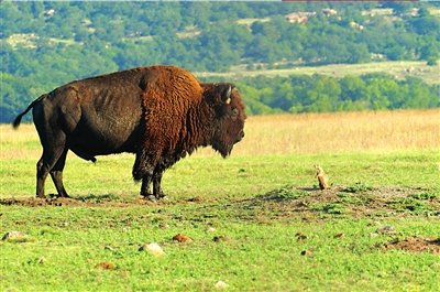 图文:勇敢土拨鼠与美洲野牛对视