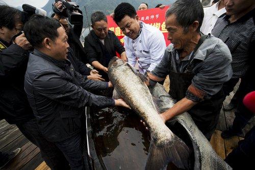 美女最大剁椒视频在长沙开锅菜盘世界近1.7米直径痛哭鱼头图片