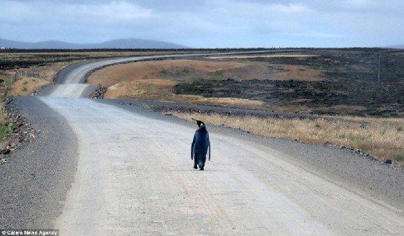和Julie在开车去钓鱼回家的路上,偶遇了一只迷了路的企鹅.在长的