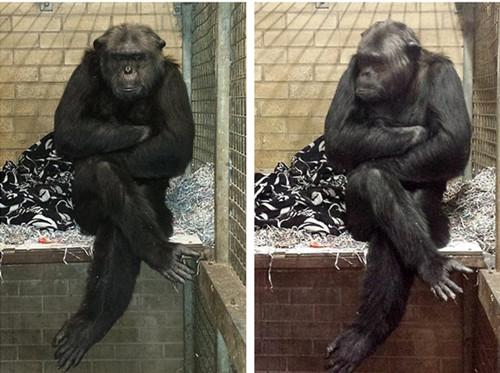 英超市停止供应过期变质食物惹大猩猩愤懑不满