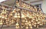 村民靠葫芦致富 一个能卖3000元