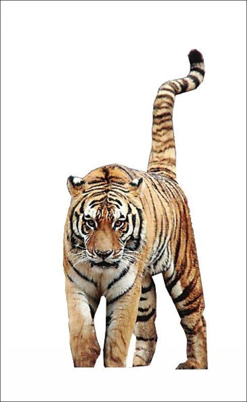 安徽芜湖动物园发情东北虎出逃 遭特警射杀
