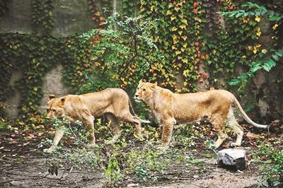 北京动物园狮子被曝骨瘦如柴 园方:一直都很瘦