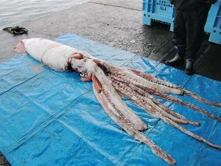 日本新潟县渔民在海湾捕获4米长巨型墨鱼(图)