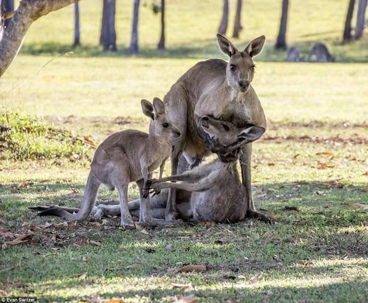 澳洲袋鼠妈妈临死前一幕 试图握住宝宝的手 - 海阔山遥 - .