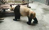 西安一大熊猫瘦成皮包骨 园方回应