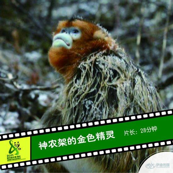 2011雅安电影节国内参展影片《神农架的金色精灵》