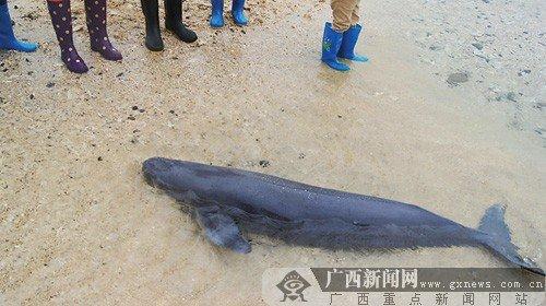 搁浅在海滩的幼鲸。任江平 摄