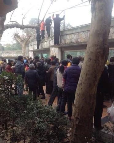 男子翻越成都动物园孟加拉虎围墙 挑衅白虎(图)