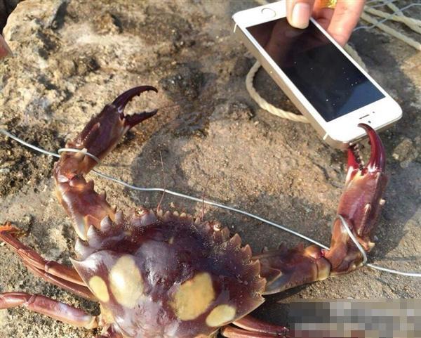 网友拿iPhone逗螃蟹遭夹碎 评论称有钱任性(图)