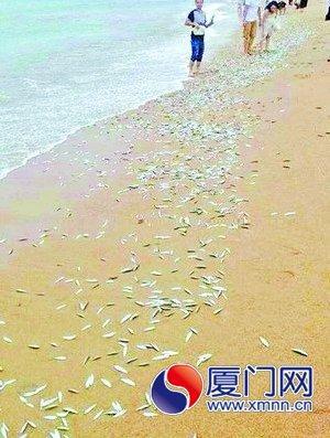 厦门万条小鱼被台风吹上海滩 游客争相捡鱼