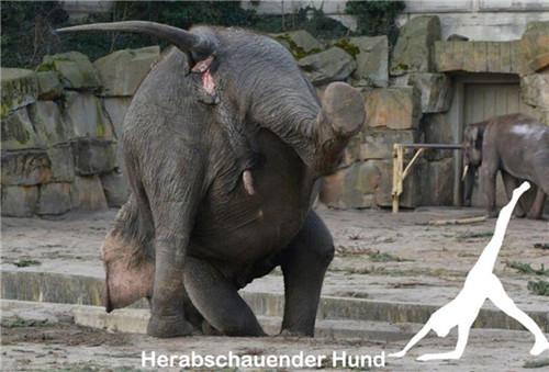 """德国动物园42岁""""瑜伽大象""""火爆网络(组图)"""
