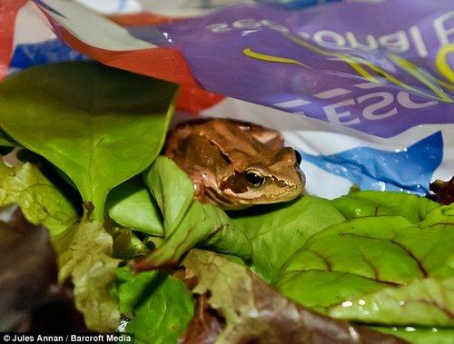 女子购买沙拉中现活青蛙 成办公室宠物(图)