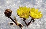 从种子落地到开花需5年:长春冰凌花盛放