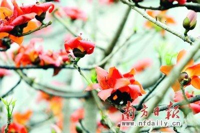 """广州327岁""""木棉王""""又开花 被称英雄花(图)"""