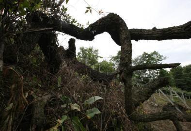 枯死的枝干。
