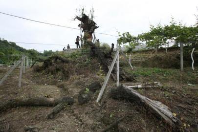 古青冈树只剩一根树桩。