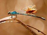一只翅膀沾满石油的蜻蜓试图清除身上的污物