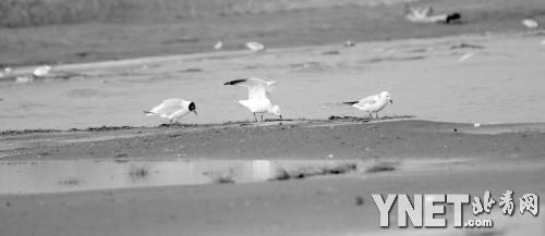 中国最大沙漠淡水湖红碱淖43年水域面缩减过半
