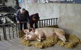 5・12地震后10年又见猪坚强,主人连说三个好