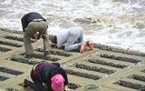 游客冒大风浪在天津港海边抢挖生蚝