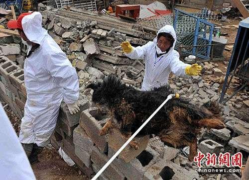 上千藏獒玉树地震中死亡 无害处理难度大