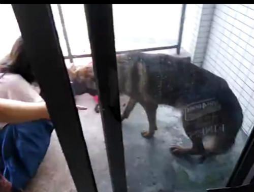 图为志愿者赶到王某平位于东莞的住处,解救出一只奄奄一息的德牧犬