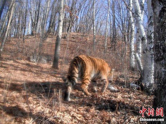 吉林珲春自然保护区再现野生东北虎 村民马被咬