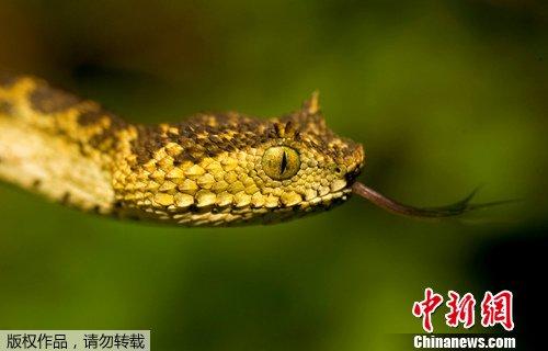 美国在关岛空投下2000只有毒鼠尸诱杀毒蛇(图)