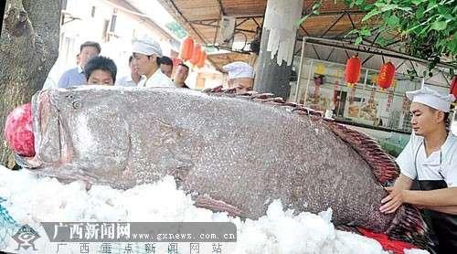 广西渔民捕到460斤重大鱼(图)