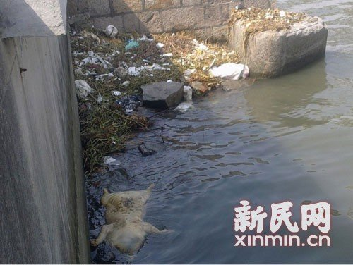 图说:3月9日横潦泾内漂浮着四脚朝天的死猪。新民网记者卜春艳现场回传