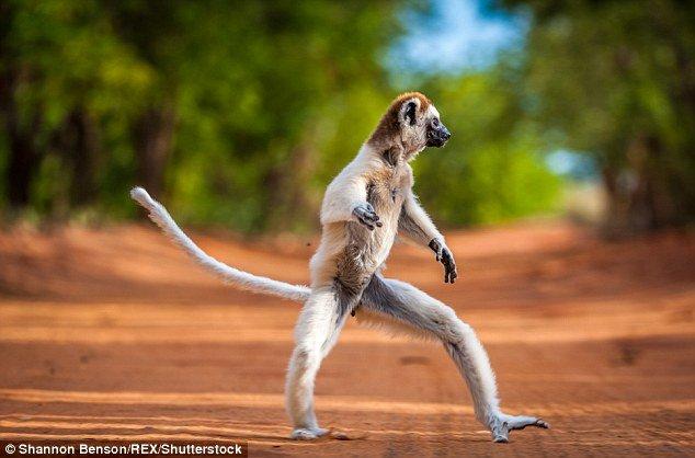 马达加斯加野生狐猴后腿着地行走 画面逗趣 - 海阔山遥 - .