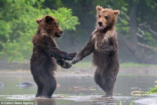 """两只小熊见面""""握手"""" 一同捕鱼"""