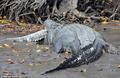 组图:5米巨型鳄鱼生吞3米长同类