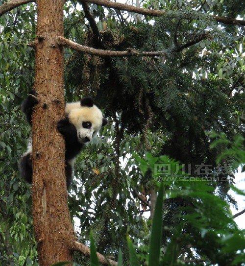 四川雅安大熊猫安全 幼仔受惊吓不肯下树