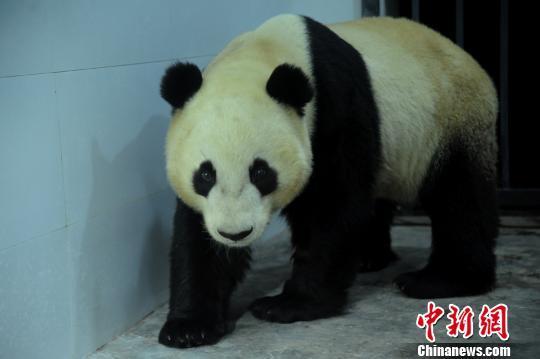 """在美国出生4岁大熊猫""""云子""""回国定居入住新家"""