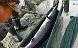 鸭绿江1米9长大鱼用担架抬 68条价值600万