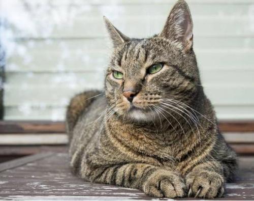 基因决定家猫不能成为人类最好朋友(图)