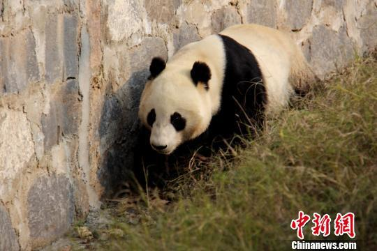 """在美出生的四岁大熊猫""""云子""""回国定居入住新家"""