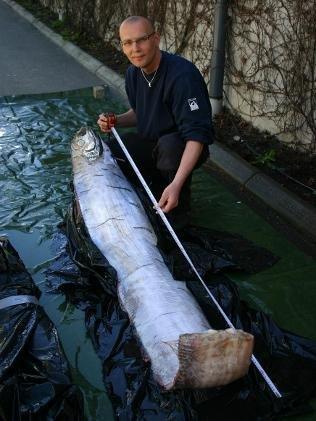 """瑞典发现传说中的大海蛇""""鲱王皇带鱼""""(图)"""