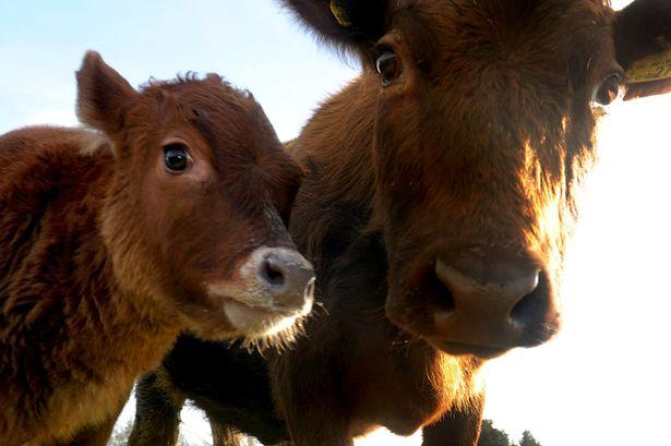 英国母牛诞下幼崽