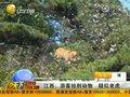 视频:江西游客拍到动物疑似老虎