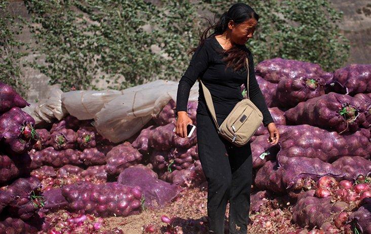 洋葱滞销 农户搅碎作物水淹田地