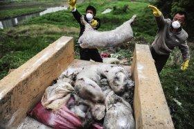 农业部调查死猪事件半月 上海方面不知进展