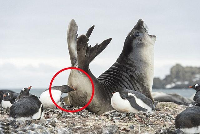 """南极企鹅""""偷袭""""海豹臀部 抗议领地被占(图)"""