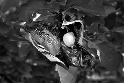 烟台红富士套药袋长大 果农坦言是禁用药物