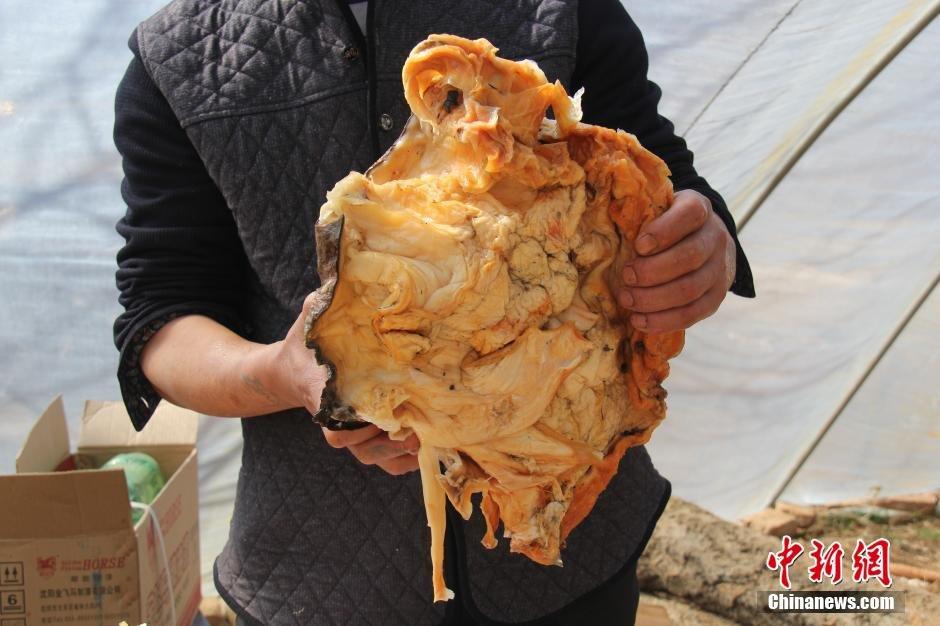 """辽宁农民卖140斤""""太岁"""" 每斤1万 - 海阔山遥 - ."""