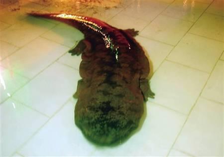 重庆现百斤重巨型野生娃娃鱼 专家:200 岁以上