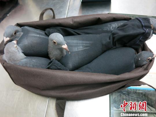 深圳罗湖海关截获走私活信鸽信鸽被黑丝袜裹住