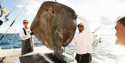 实际上,这种海怪名为指鳐鳌虾,长约4.3米,重达363公斤.